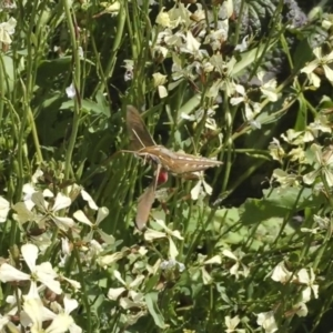Hippotion celerio at Michelago, NSW - 27 Oct 2016