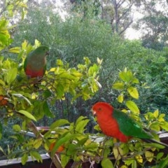 Alisterus scapularis (Australian King-parrot) at Merimbula, NSW - 27 Sep 2013 by HeatherMeek