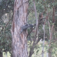 Strepera versicolor (Grey Currawong) at Wolumla, NSW - 12 May 2013 by PatriciaDaly