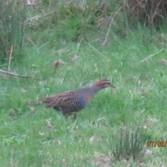 Gallirallus philippensis (Buff-banded Rail) at Wolumla, NSW - 6 Sep 2013 by PatriciaDaly