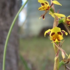 Diuris sulphurea (Tiger Orchid) at Wolumla, NSW - 13 Oct 2013 by PatriciaDaly