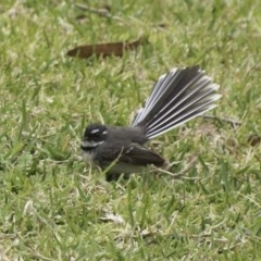 Rhipidura albiscapa (Grey Fantail) at Undefined - 5 Oct 2018 by IanS
