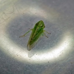 Cicadellidae sp. (family) (Unidentified leafhopper) at Jerrabomberra Wetlands - 5 Oct 2018 by RodDeb