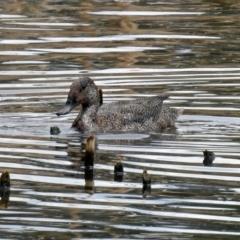Stictonetta naevosa at Jerrabomberra Wetlands - 5 Oct 2018