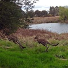 Macropus giganteus (Eastern Grey Kangaroo) at Jerrabomberra Wetlands - 5 Oct 2018 by RodDeb