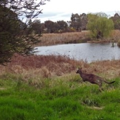 Macropus giganteus at Jerrabomberra Wetlands - 5 Oct 2018
