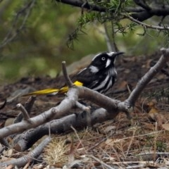 Phylidonyris novaehollandiae (New Holland Honeyeater) at Jerrabomberra Wetlands - 5 Oct 2018 by RodDeb