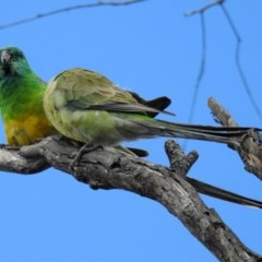 Psephotus haematonotus (Red-rumped Parrot) at Jerrabomberra Wetlands - 5 Oct 2018 by RodDeb