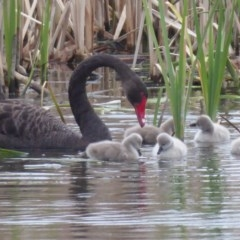 Cygnus atratus (Black Swan) at Jerrabomberra Wetlands - 4 Oct 2018 by Christine