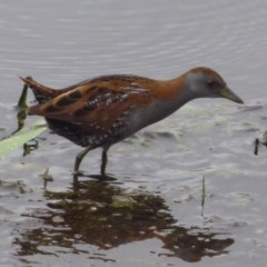 Zapornia pusilla (Baillon's Crake) at Jerrabomberra Wetlands - 4 Oct 2018 by Christine