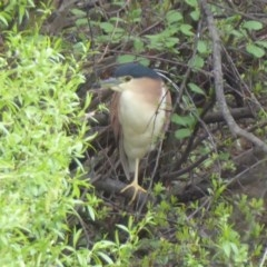 Nycticorax caledonicus (Nankeen Night-Heron) at Jerrabomberra Wetlands - 4 Oct 2018 by Christine