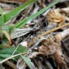 Thema protogramma (A concealer moth) at Wandiyali-Environa Conservation Area - 5 Oct 2018 by Wandiyali