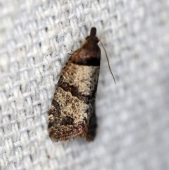 Rupicolana orthias (A tortrix or leafroller moth) at O'Connor, ACT - 1 Oct 2018 by ibaird