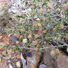 Acacia gunnii (Ploughshare Wattle) at Mount Ainslie - 5 Oct 2018 by SilkeSma