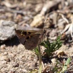 Trapezites phigalia (Heath Ochre) at Kambah, ACT - 6 Oct 2018 by MatthewFrawley