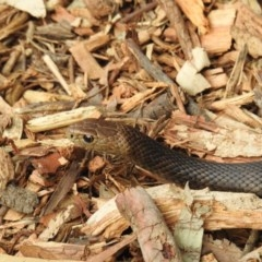 Pseudonaja textilis (Eastern Brown Snake) at ANBG - 2 Oct 2018 by HelenCross