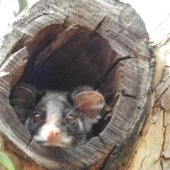 Pseudocheirus peregrinus (Common Ringtail Possum) at ANBG - 2 Oct 2018 by HelenCross