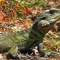 Intellagama lesueurii (Eastern Water Dragon) at ANBG - 6 Oct 2018 by RodDeb