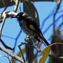 Phylidonyris novaehollandiae (New Holland Honeyeater) at ANBG - 6 Oct 2018 by RodDeb