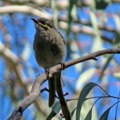 Caligavis chrysops (Yellow-faced Honeyeater) at ANBG - 6 Oct 2018 by RodDeb