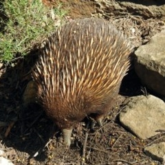 Tachyglossus aculeatus (Short-beaked Echidna) at ANBG - 6 Oct 2018 by RodDeb