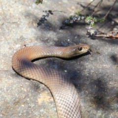 Pseudonaja textilis (Eastern Brown Snake) at ANBG - 6 Oct 2018 by Tim L