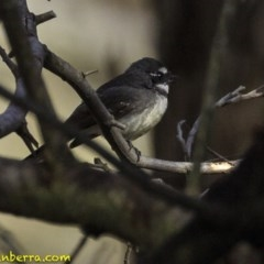 Rhipidura fuliginosa (Grey Fantail) at Red Hill Nature Reserve - 5 Oct 2018 by BIrdsinCanberra