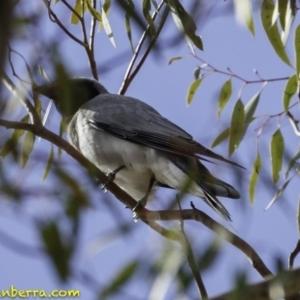 Coracina novaehollandiae at Red Hill Nature Reserve - 6 Oct 2018