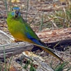 Neophema pulchella (Turquoise Parrot) at Jerrabomberra Wetlands - 6 Oct 2018 by RodDeb