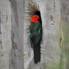 Alisterus scapularis (Australian King-Parrot) at ANBG - 4 Oct 2018 by TimL