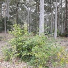 Elaeodendron australe var. australe at Cullendulla Creek Nature Reserve - 27 Aug 2017