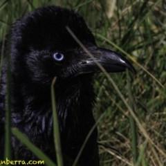 Corvus coronoides (Australian Raven) at Jerrabomberra Wetlands - 6 Oct 2018 by BIrdsinCanberra