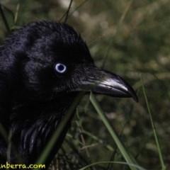 Corvus coronoides at Jerrabomberra Wetlands - 7 Oct 2018