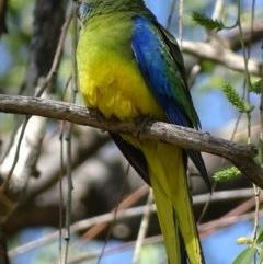 Neophema pulchella (Turquoise Parrot) at Jerrabomberra Wetlands - 8 Oct 2018 by roymcd