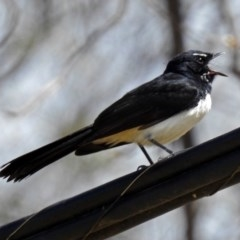 Rhipidura leucophrys (Willie Wagtail) at City Renewal Authority Area - 8 Oct 2018 by RodDeb