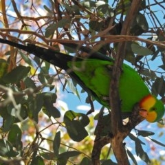 Polytelis swainsonii (Superb Parrot) at Lyons, ACT - 8 Oct 2018 by RodDeb