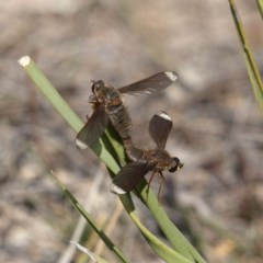 Comptosia stria (A bee fly) at Mount Taylor - 7 Oct 2018 by MatthewFrawley