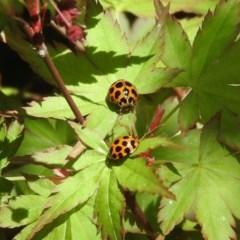 Harmonia conformis (Common Spotted Ladybird) at Yarralumla, ACT - 6 Oct 2018 by RyuCallaway