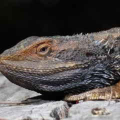 Pogona barbata (Eastern Bearded Dragon) at ANBG - 6 Oct 2018 by Tim L