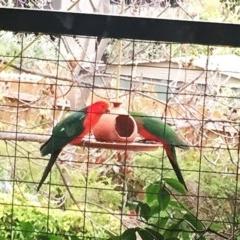 Alisterus scapularis (Australian King-Parrot) at Hughes, ACT - 9 Oct 2018 by ruthkerruish