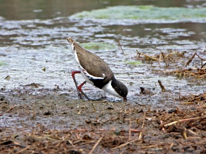 Erythrogonys cinctus at Jerrabomberra Wetlands - 9 Oct 2018