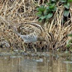 Gallinago hardwickii (Latham's Snipe) at Jerrabomberra Wetlands - 9 Oct 2018 by RodDeb