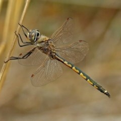 Hemicordulia tau (Tau Emerald) at Jerrabomberra Wetlands - 9 Oct 2018 by RodDeb