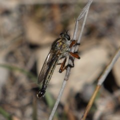 Asiola fasciata (A robber fly) at Mount Taylor - 7 Oct 2018 by MatthewFrawley