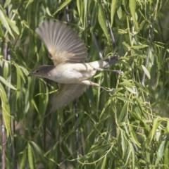 Acrocephalus australis (Australian Reed-Warbler) at Jerrabomberra Wetlands - 8 Oct 2018 by Alison Milton