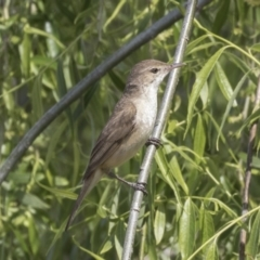 Acrocephalus australis at Jerrabomberra Wetlands - 9 Oct 2018