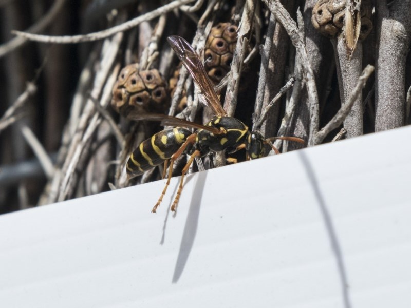 Polistes (Polistes) chinensis at Jerrabomberra Wetlands - 9 Oct 2018