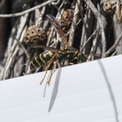 Polistes (Polistes) chinensis (Asian paper wasp) at Jerrabomberra Wetlands - 9 Oct 2018 by Alison Milton