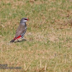 Stagonopleura guttata (Diamond Firetail) at Ulladulla, NSW - 13 Feb 2018 by Charles Dove