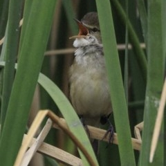Acrocephalus australis (Australian Reed-Warbler) at Commonwealth & Kings Parks - 8 Oct 2018 by BIrdsinCanberra